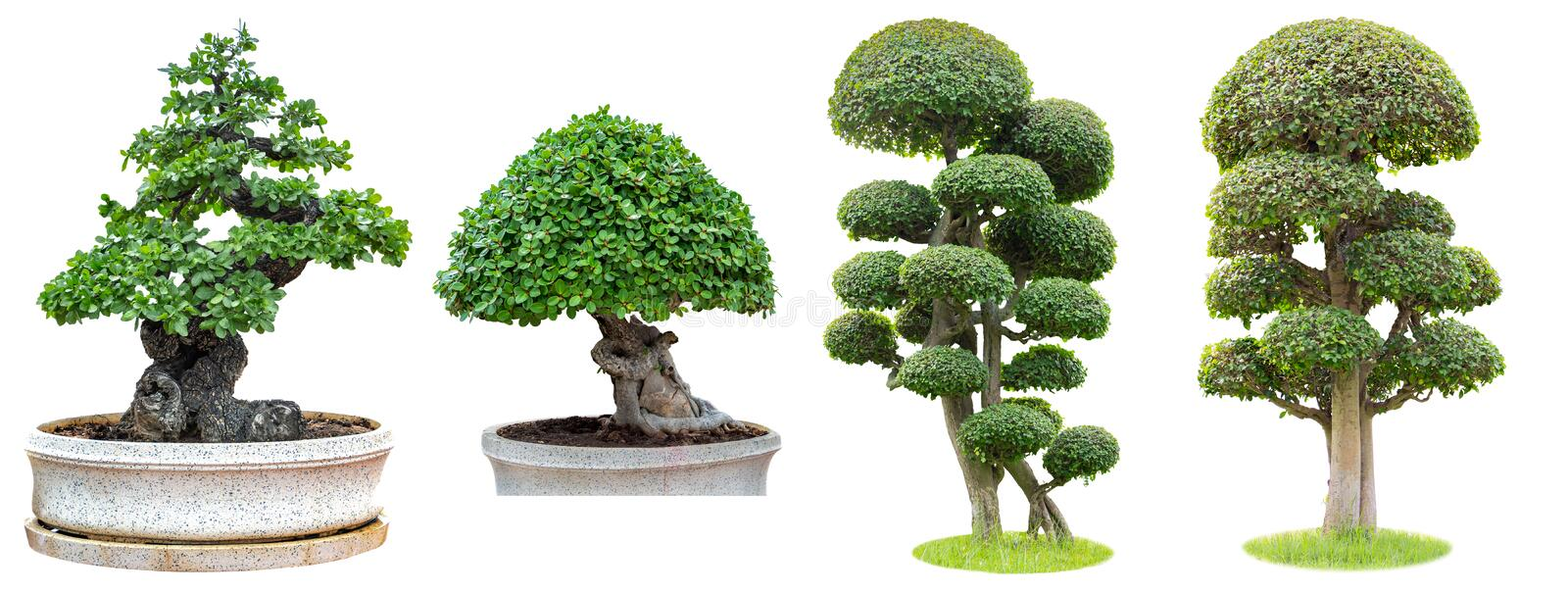 Bonsai trees isolated on white background. Its shrub is grown in a pot or ornamental tree in the garden. N royalty free stock photo