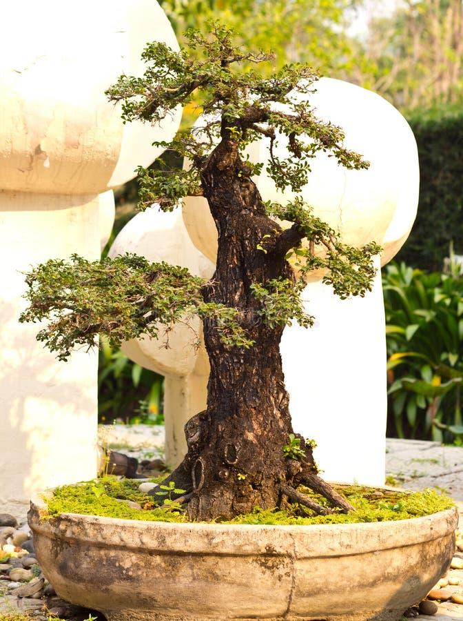Download Bonsai tree stock photo. Image of miniature, bonsai, garden - 30050016