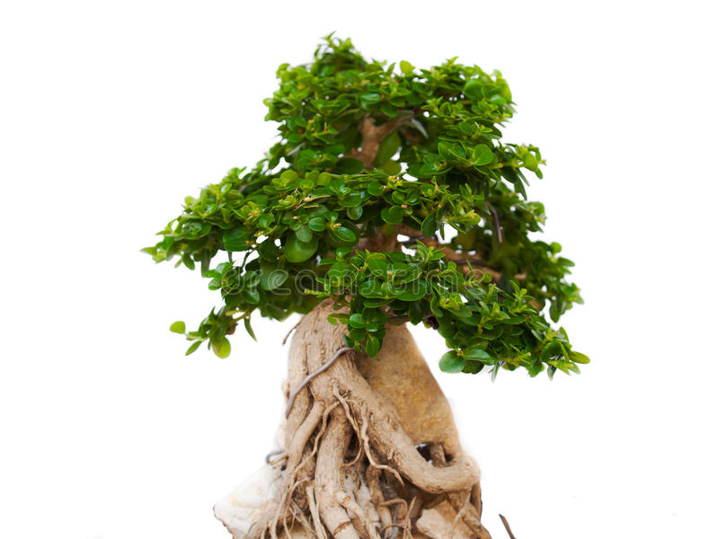 Bonsai trees. Trees in the tropical zone royalty free stock photos