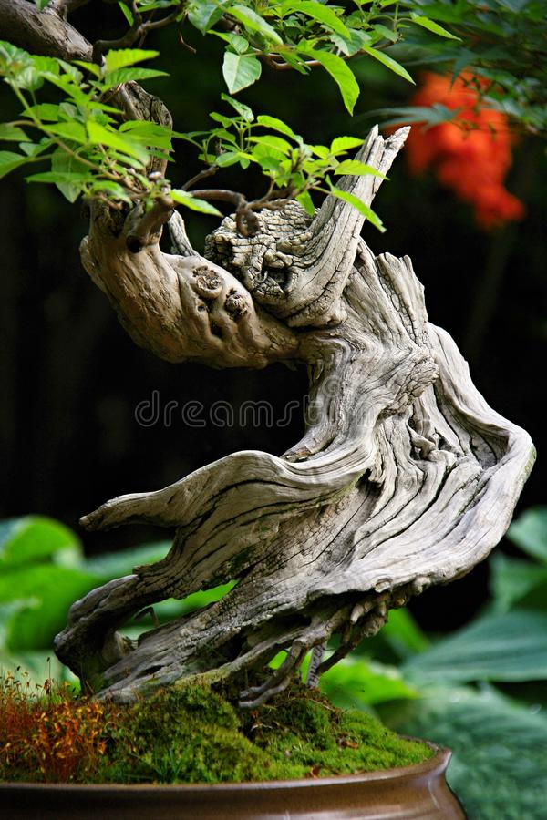 Bonsai with twisted trunk stock image
