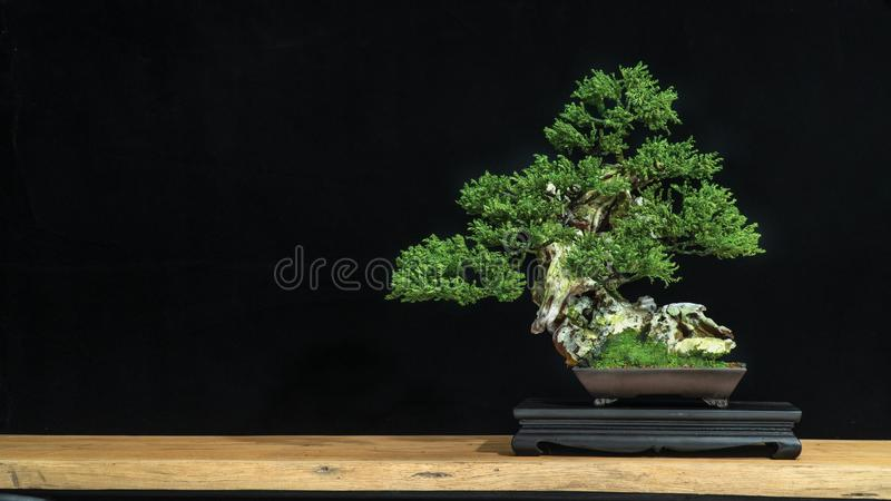 Bonsai is used to decorate the shop. Japanese bonsai tree on a black back wooden floor. Bonsai style used for decoration. Japanese bonsai tree on a black royalty free stock photography