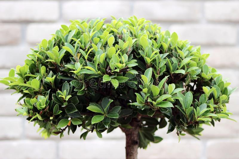 Bonsai verdi del cespuglio fotografie stock
