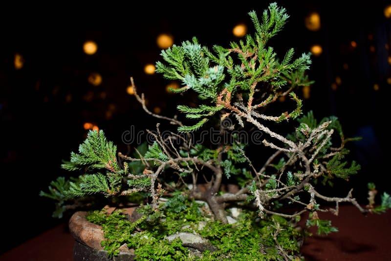 Bonsai verdi del pino immagini stock libere da diritti