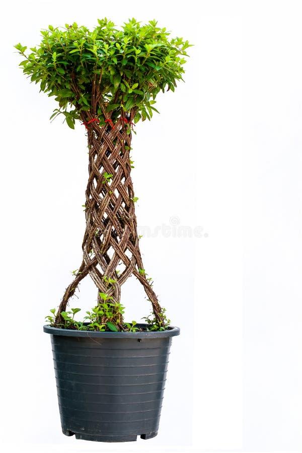 Bonsai Willow Tree Stock Photo Image Of Bend Single 36308496