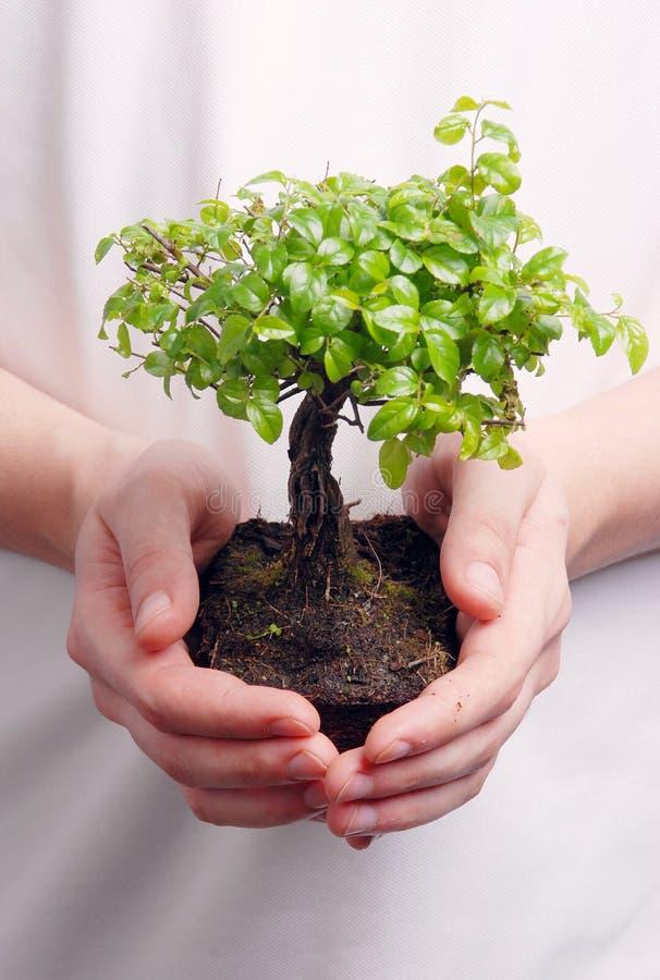 bonsai wręcza mienia drzewa zdjęcia royalty free