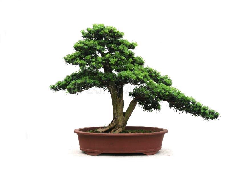 The bonsai of yaccatree. The chinese gardening art of yaccatree bonsai stock photo