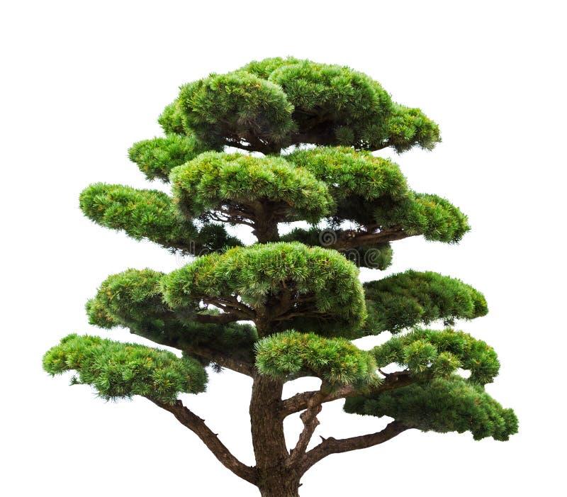 Bonsai zielona sosna odizolowywająca na bielu zdjęcia stock