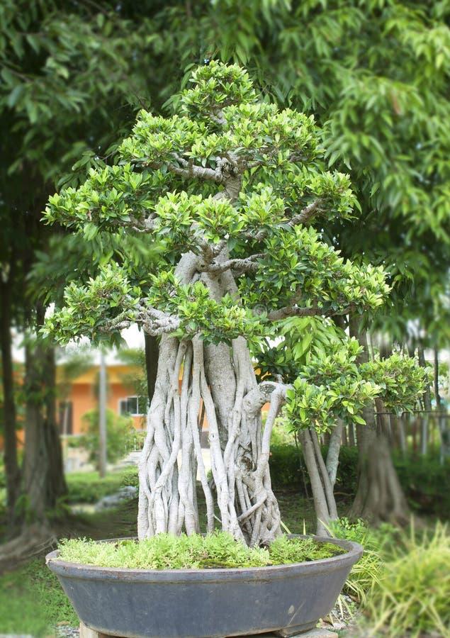 Bonsaibäume. lizenzfreies stockfoto