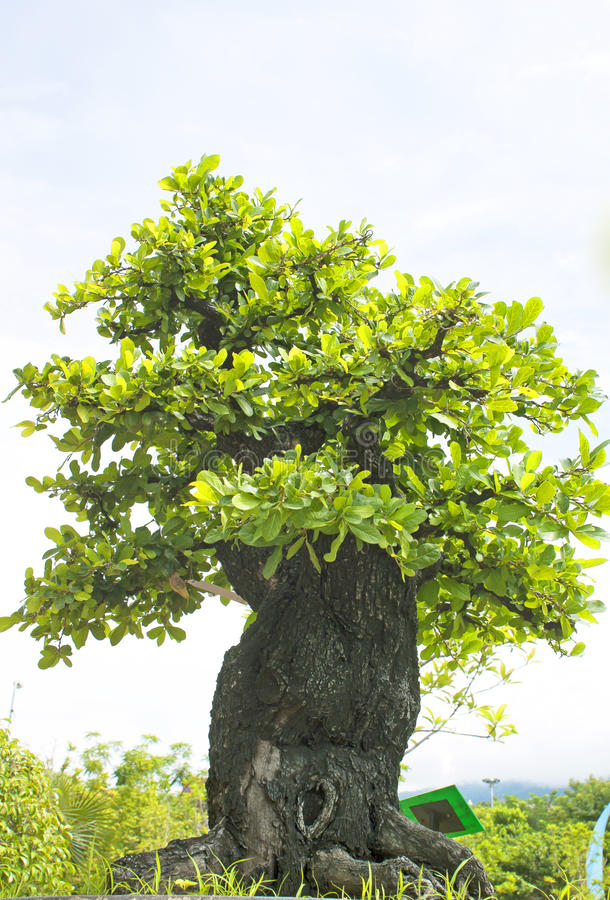 Bonsaibäume. stockbild