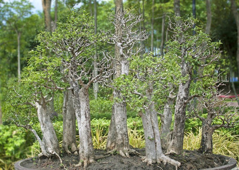 Bonsaibäume. lizenzfreie stockfotos