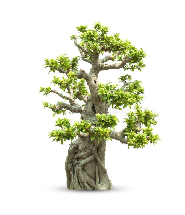 Bonsaibäume stockfotografie
