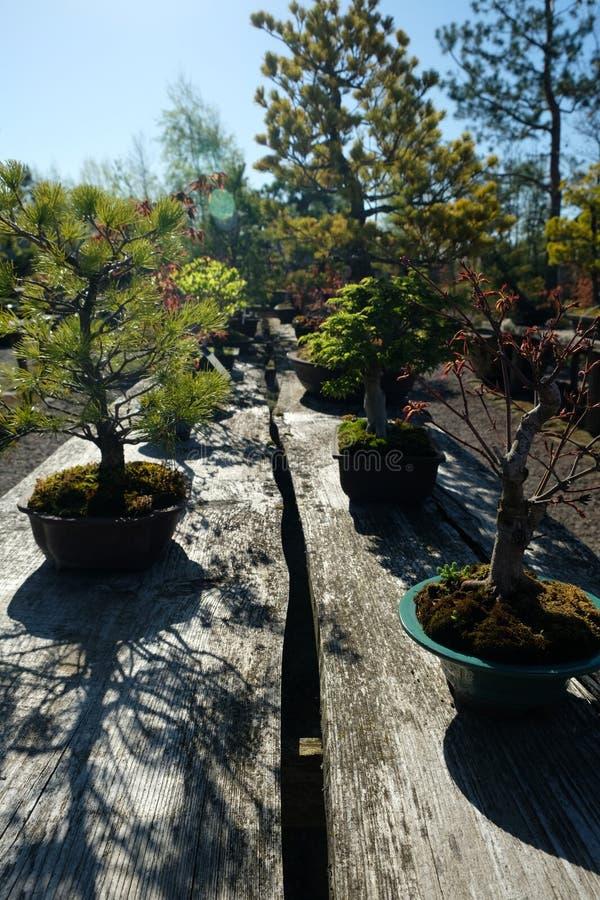 Bonsaibäume in einem botanischen japanischen Garten lizenzfreie stockfotos