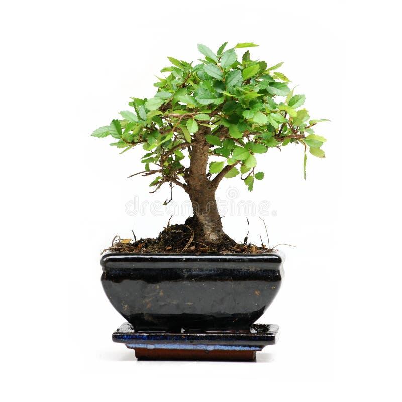Bonsaibaum auf weißem Hintergrund lizenzfreies stockfoto