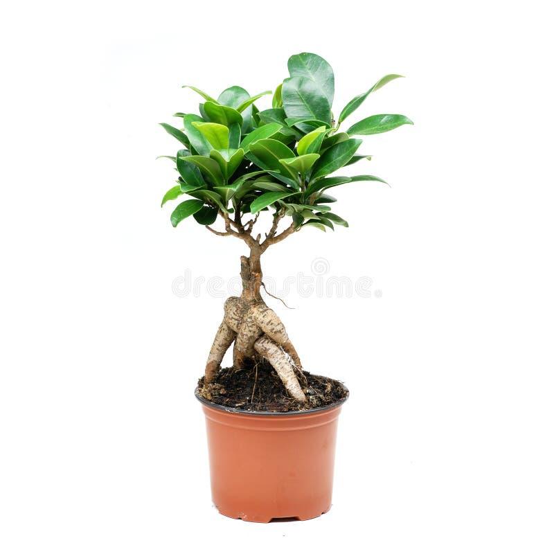 Bonsaibaum auf weißem Hintergrund stockfotografie