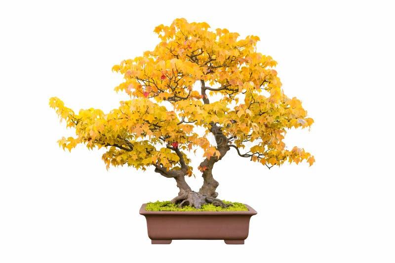 Bonsaibaum des Dreizackahorns im Herbst lizenzfreie stockbilder