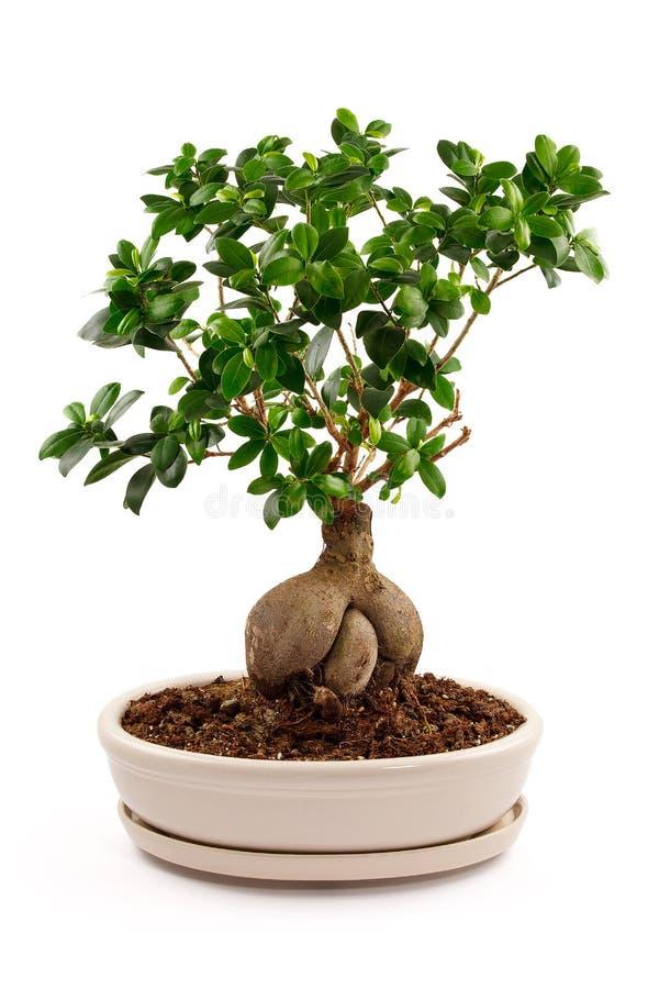 Bonsaiboom in ceramische pot royalty-vrije stock afbeelding