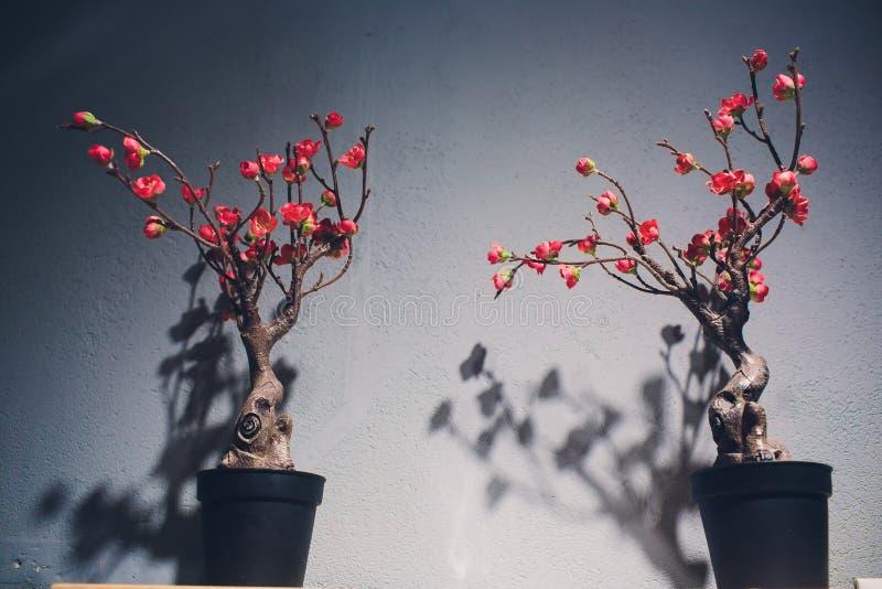 Bonsaiboom op een uitstekend houten bureau, grijs muur minimaal binnenland royalty-vrije stock afbeeldingen