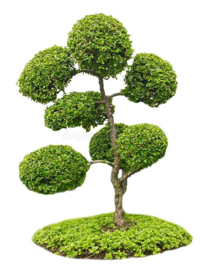 Bonsaiboom in tuin op wit wordt geïsoleerd dat stock afbeelding