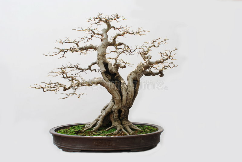 bonsaihackberry royaltyfri bild