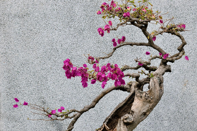 Bonsail drzewo bougainvillea