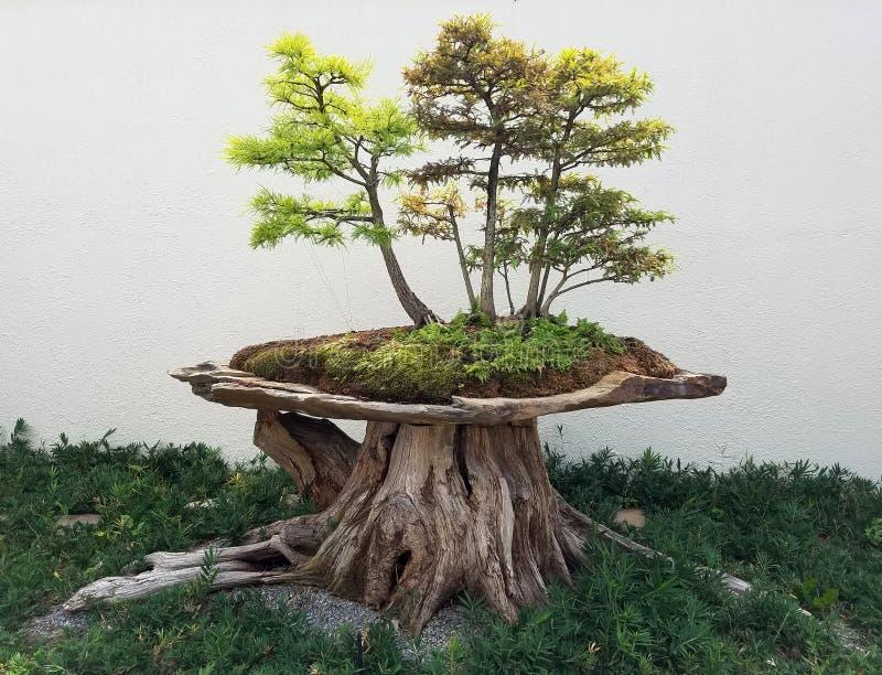 Bonsailaubbäume stockbild