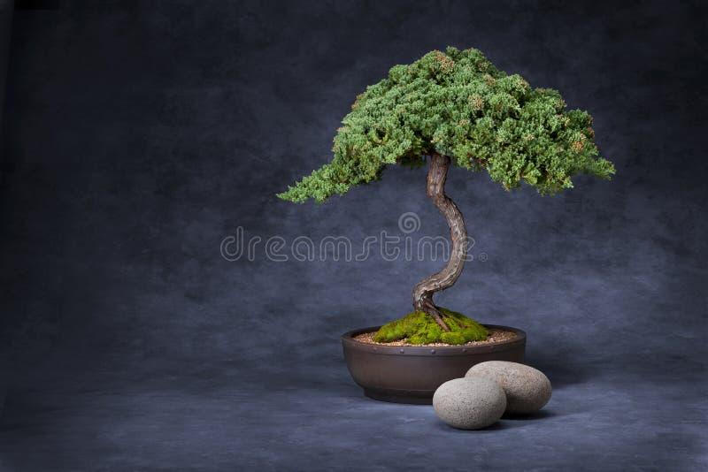 Bonsais-Baum und Steine stockfotografie