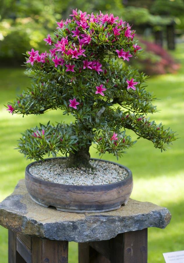 Bonsais da ?rvore de Azalea Japonica Satsuki fotografia de stock royalty free