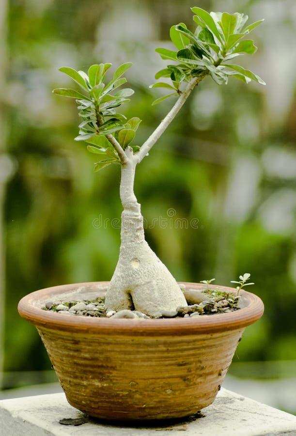 Bonsais de la planta del Adenium fotos de archivo