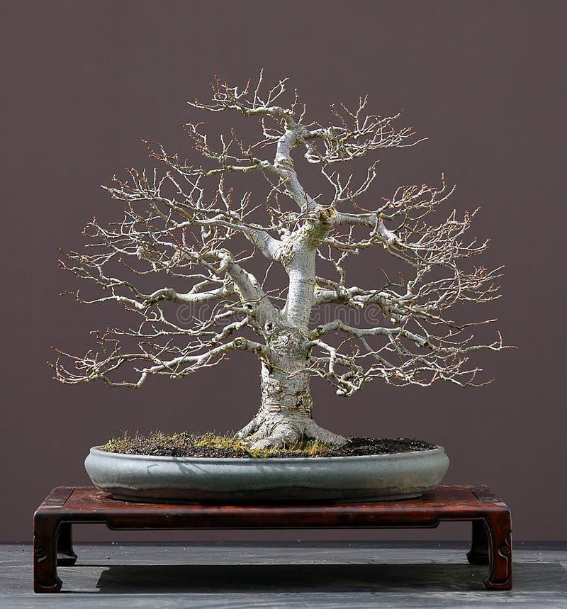 Bonsais del árbol del tilo fotos de archivo