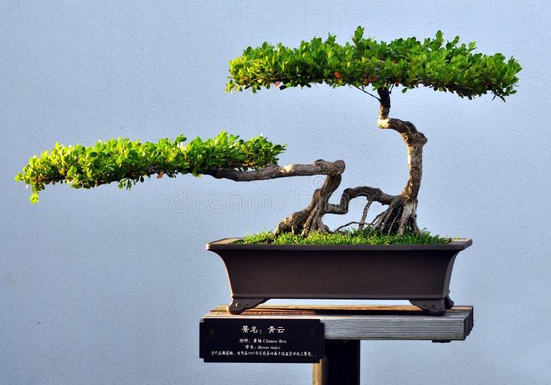 Ein Kleiner Bonsaibaum Im Schwarzen Keramischen Topf Auf