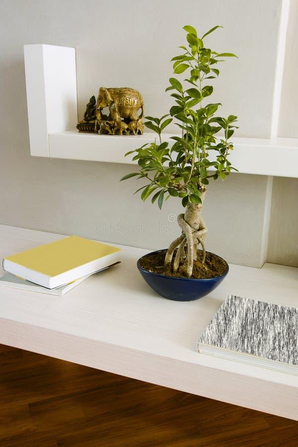 Bonsais do benjamina do Ficus nas prateleiras brancas imagem de stock