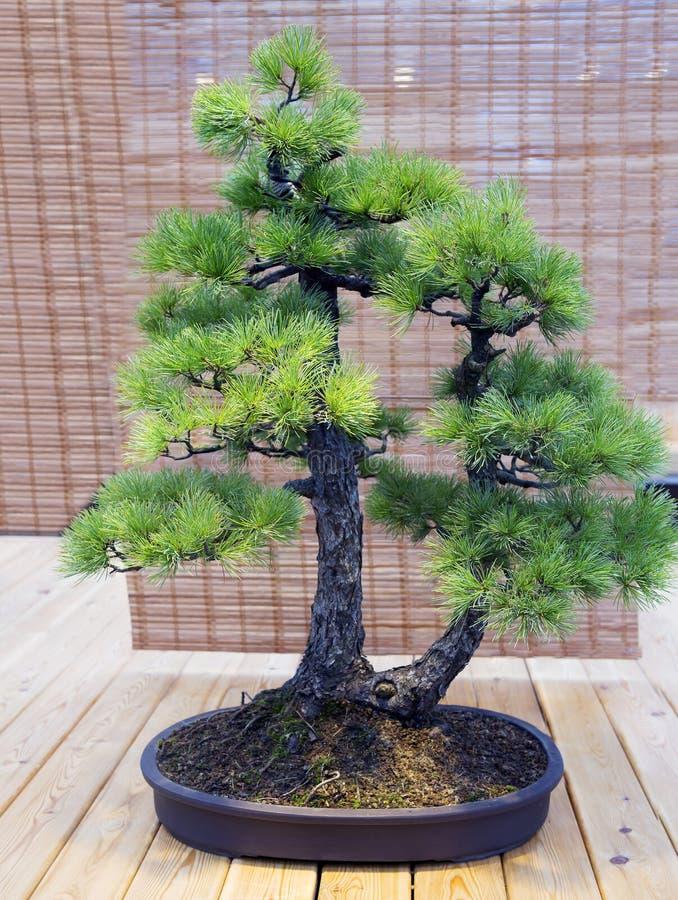 Bonsais Idade japonesa do pinho branco aproximadamente 70 anos imagens de stock royalty free