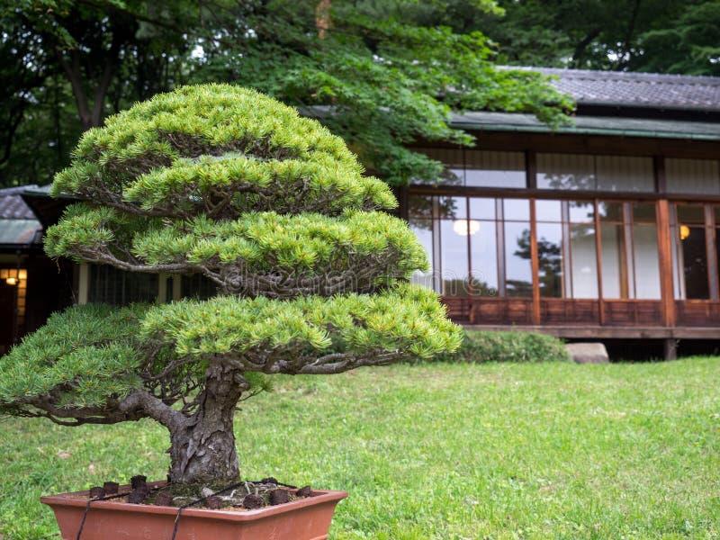 Bonsais in Meiji Jingu Park lizenzfreie stockbilder