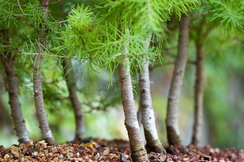 Bonsais-Wald stockfotos