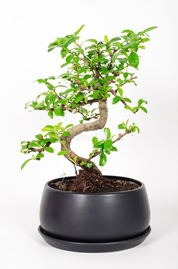 Bonsaiträd royaltyfri fotografi