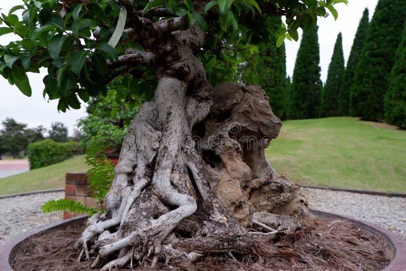 Bonsaiträd i den kinesiska trädgården royaltyfri foto