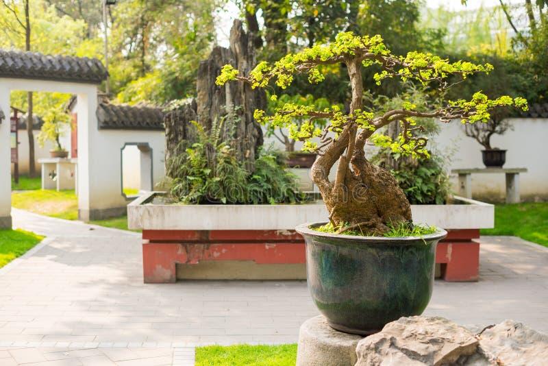 Bonsaiträd i en Chengdu parkerar royaltyfria foton