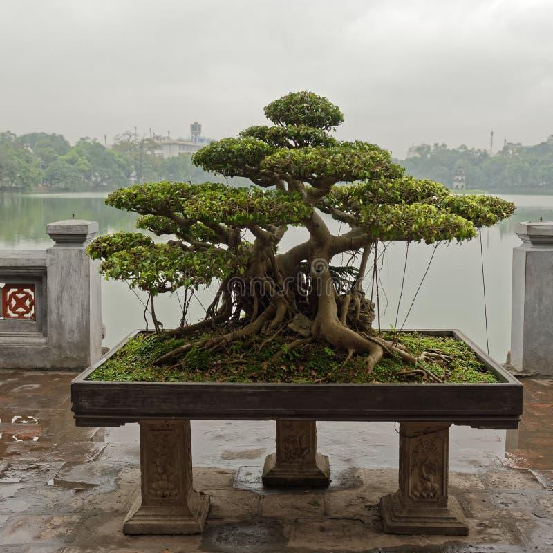 Bonsaiträd i Hanoi royaltyfri fotografi