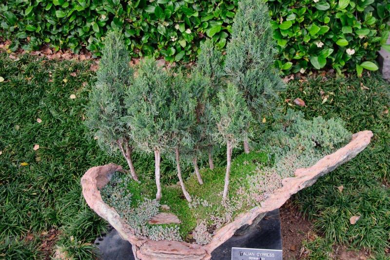 Bonsaiträd i trädgården under det öppet utomhus royaltyfria bilder