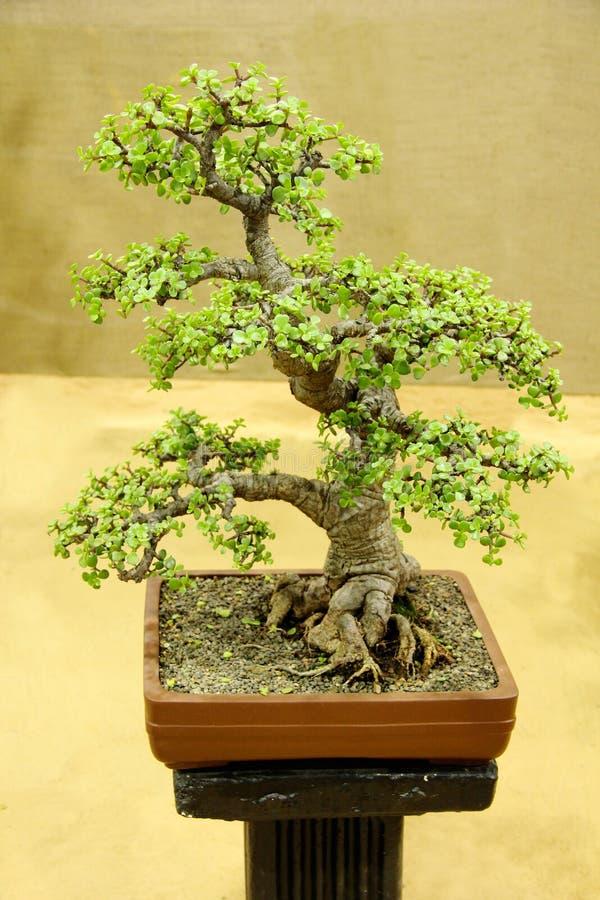 Bonsaiträd, jade, Portulacaria Afra, bonsaiträdutställning på Pune arkivfoton