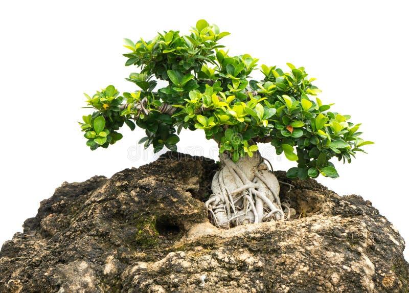 Bonsaiträdet isolerade 1 royaltyfri fotografi