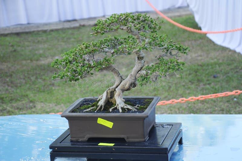 Bonsaiträdskärm för allmänhet i den kungliga Floria Putrajaya trädgården i Putrajaya, Malaysia royaltyfria foton