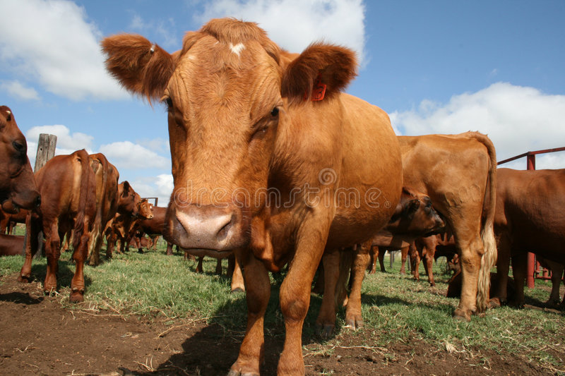 Bonsmara cow in South Africa stock images