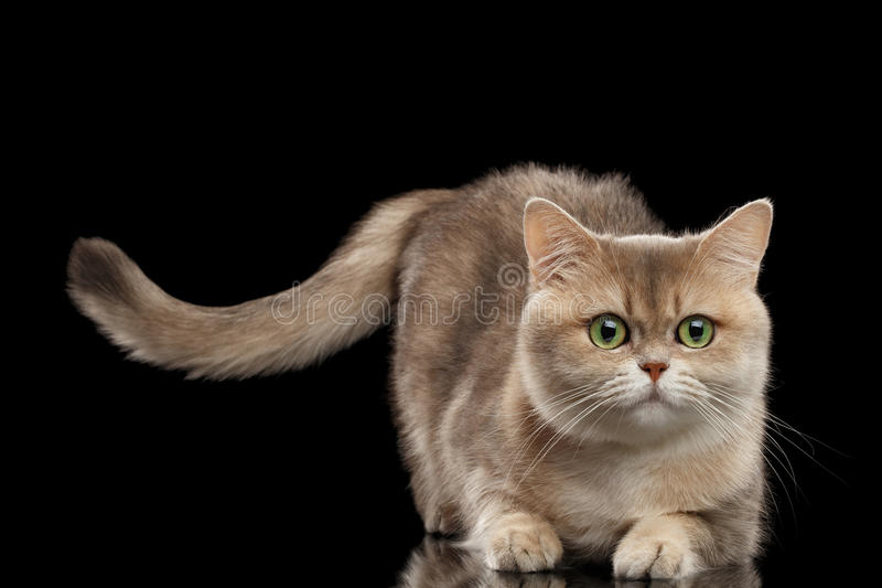 Bont Britse Cat Gold Chinchilla Lying, die Staart opheffen, isoleerde Zwarte stock foto