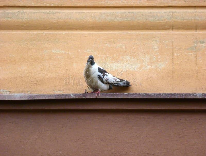 Bont duifzitting op een richel royalty-vrije stock afbeeldingen