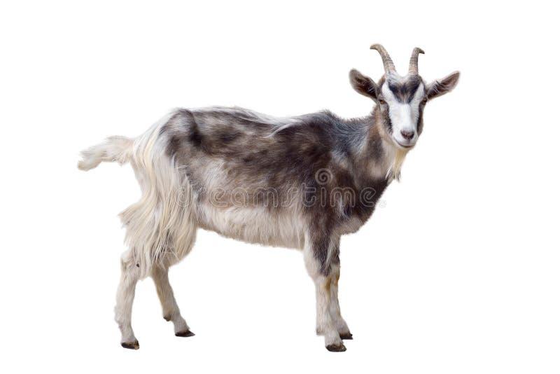 Bont geïsoleerde geit royalty-vrije stock foto