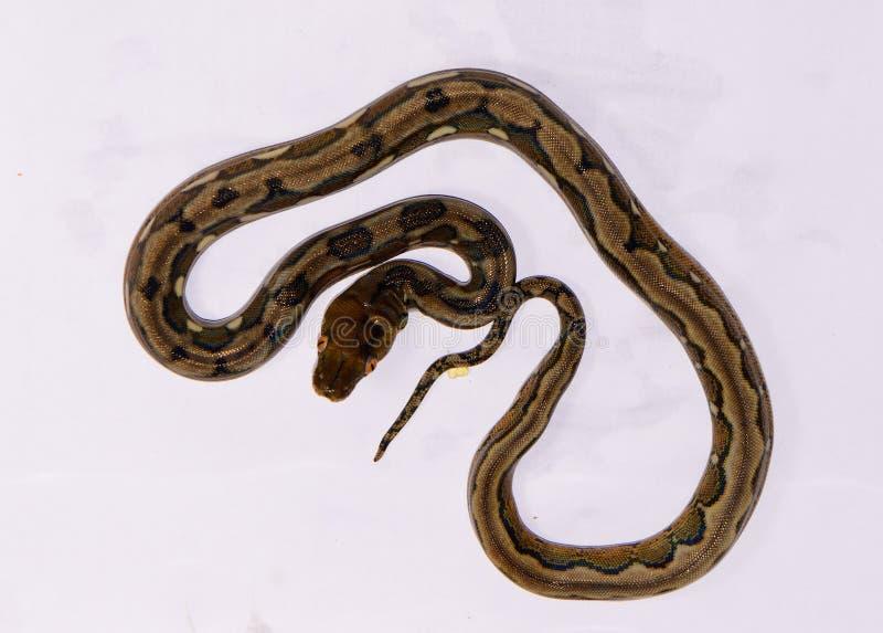 Bont veranderingspython Met een netvormig patroon (Pythonreticulatus) stock afbeeldingen