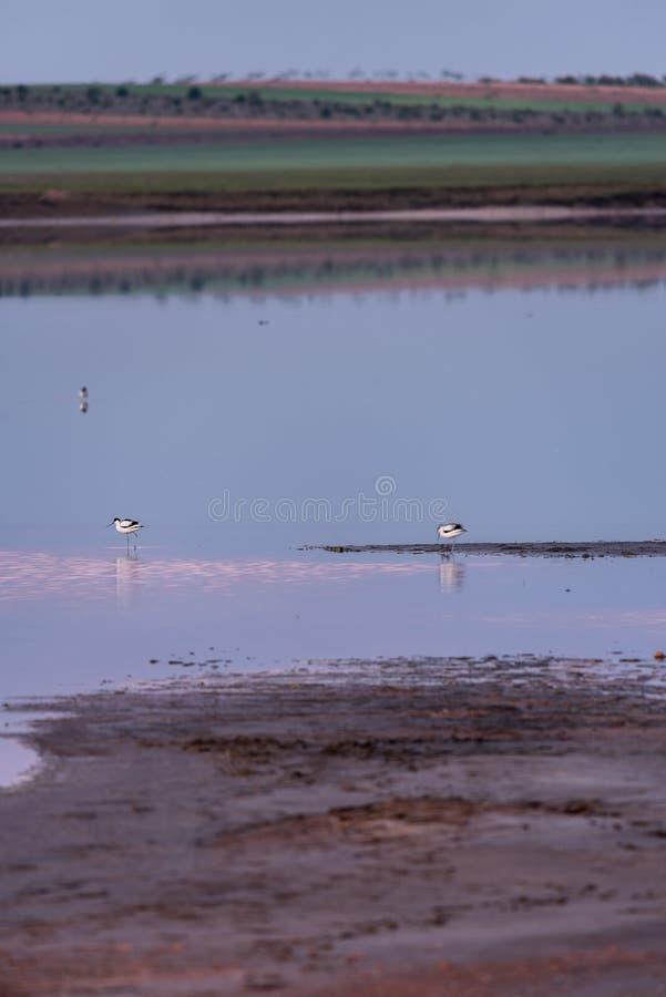 Bonte avocet bij dageraad over een zoute lagune royalty-vrije stock foto's