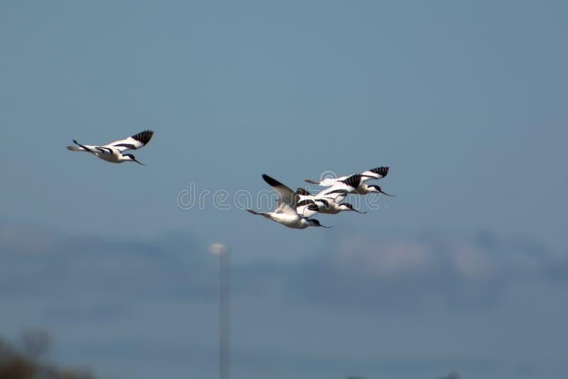 Bonte avocet die in de hemel op de westkust in Zweden vliegen royalty-vrije stock foto's