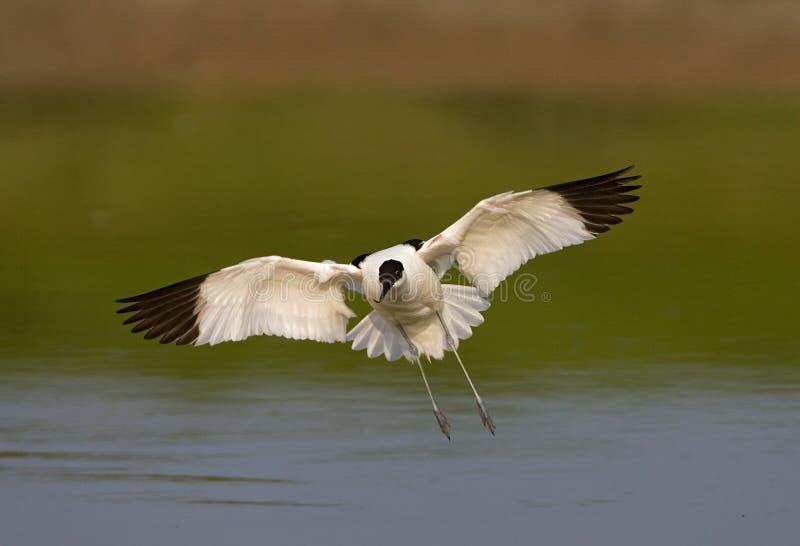 Bonte Avocet, Kluut, Recurvirostra-avosetta royalty-vrije stock afbeelding